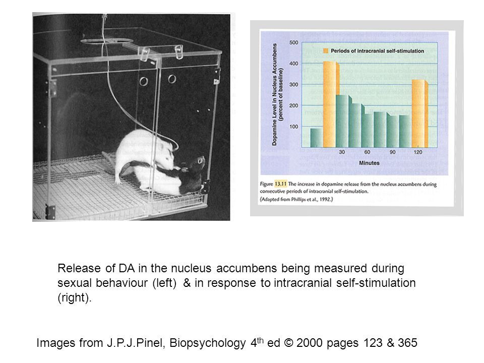 Images from J.P.J.Pinel, Biopsychology 4 th ed © 2000 pages 123 & 365 Release of DA in the nucleus accumbens being measured during sexual behaviour (left) & in response to intracranial self-stimulation (right).