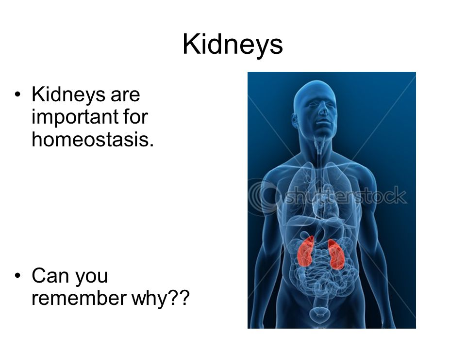 Kidneys Kidneys are important for homeostasis. Can you remember why??