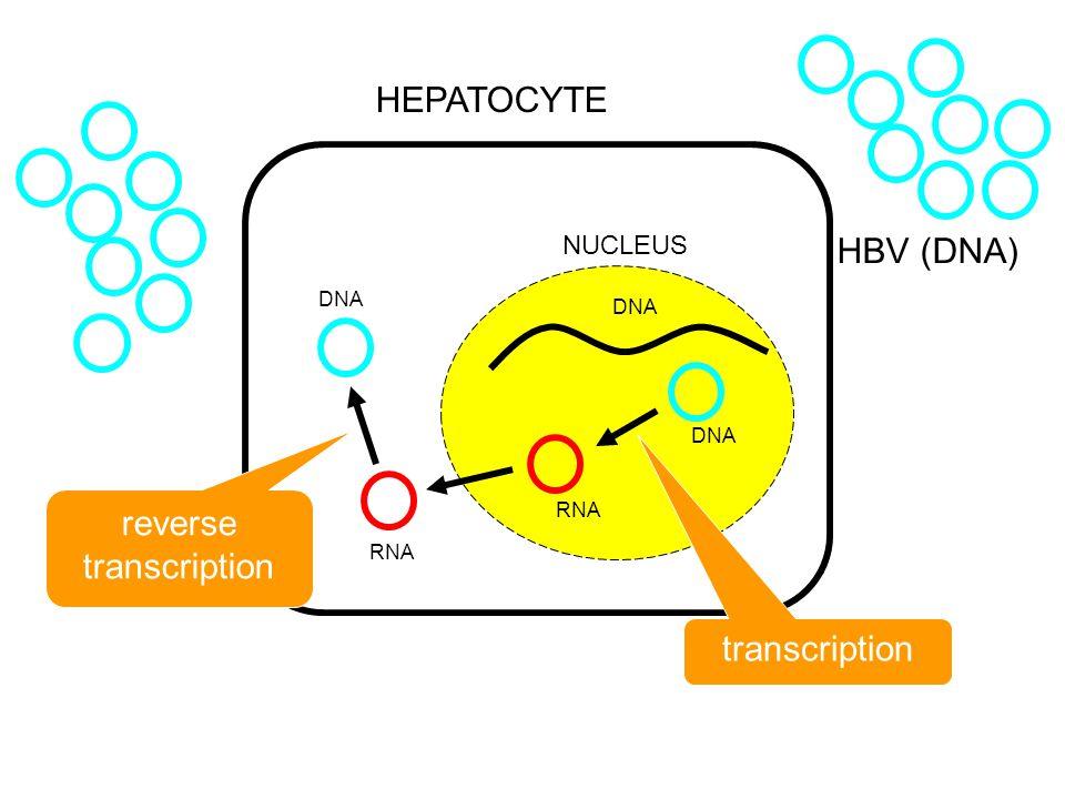 HBV (DNA) HEPATOCYTE NUCLEUS DNA reverse transcription transcription DNA RNA