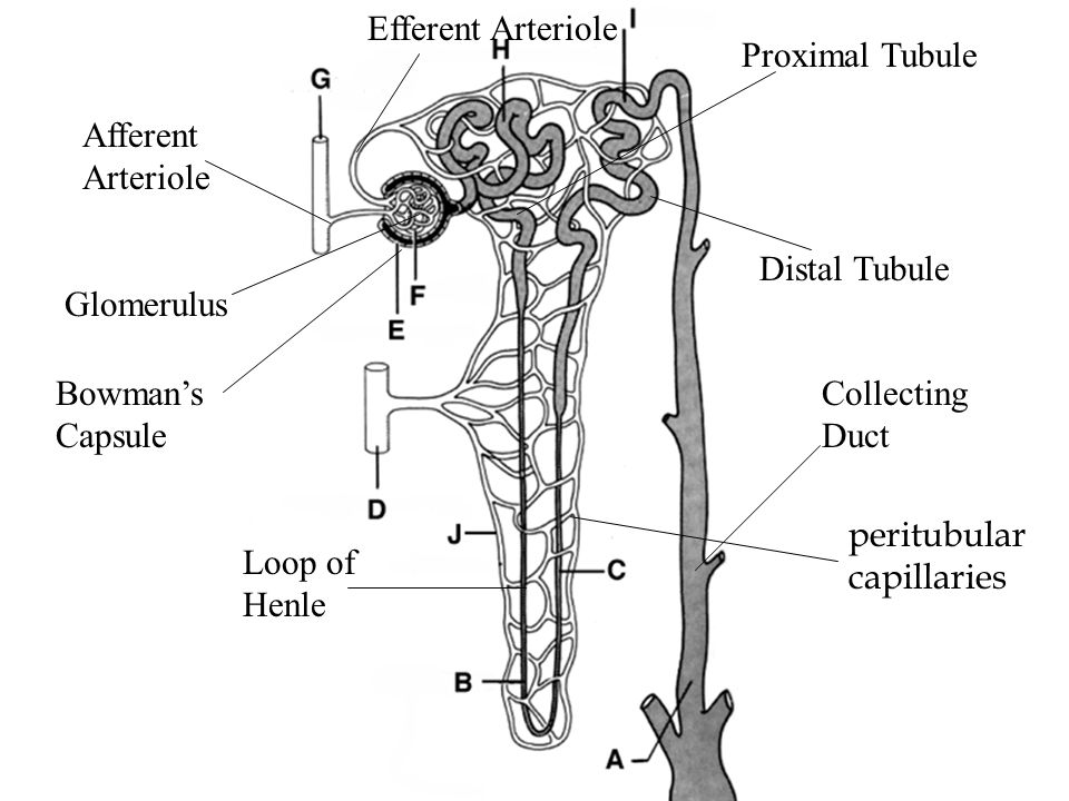 Glomerulus Bowman's Capsule Afferent Arteriole Efferent Arteriole Proximal Tubule Distal Tubule Loop of Henle Collecting Duct peritubular capillaries