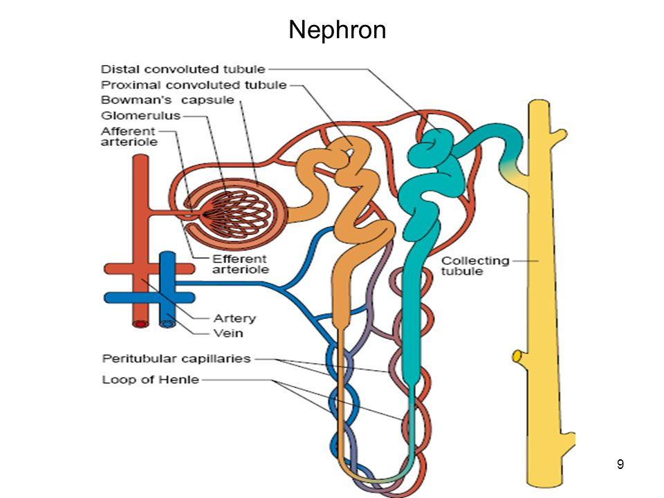 Nephron 9