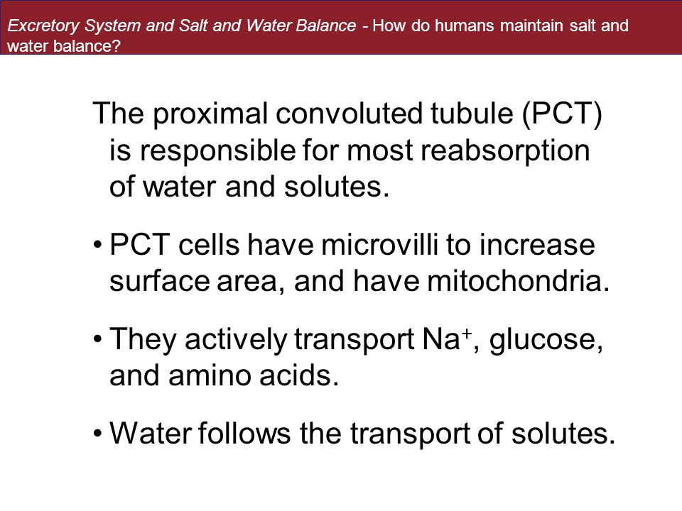 The proximal convoluted tubule (PCT) is responsible for most reabsorption of water and solutes.