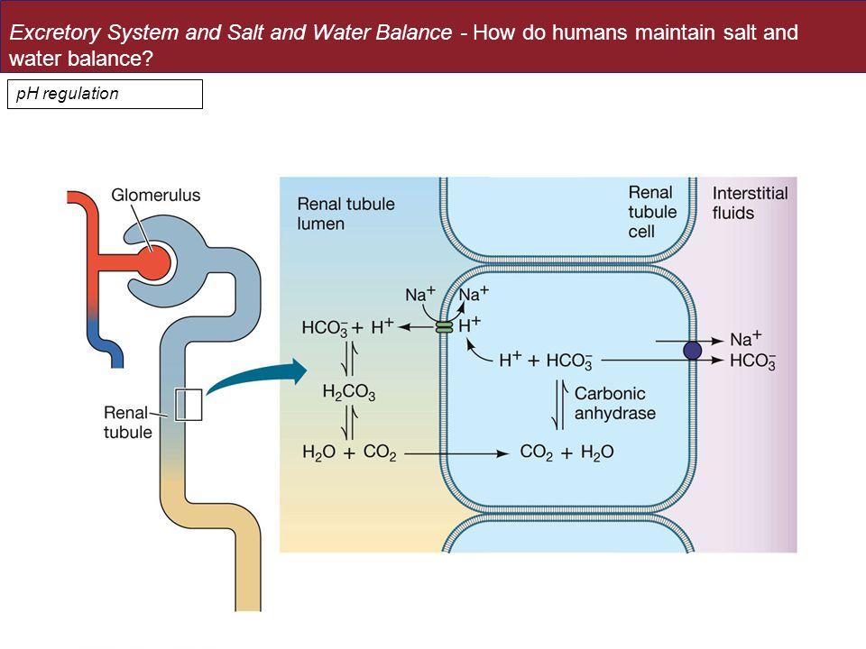 pH regulation