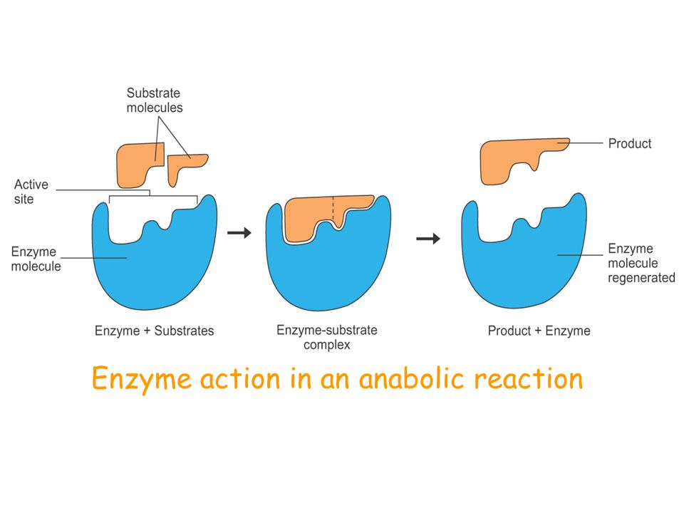 Enzyme action in a catabolic reaction