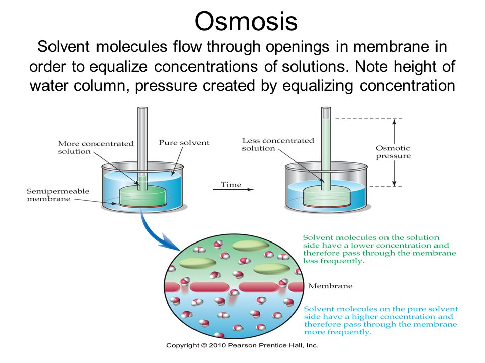 15 Osmosis Solvent molecules flow through openings in membrane in order to equalize concentrations of solutions.