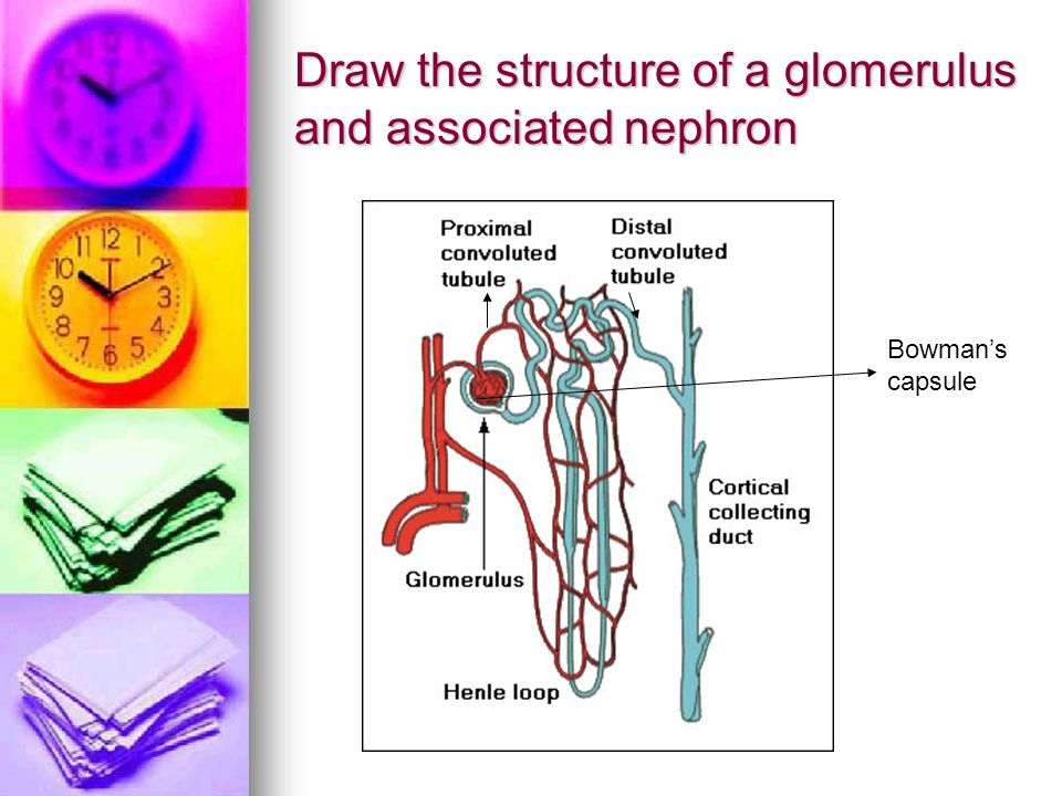 Draw the structure of a glomerulus and associated nephron Bowman's capsule