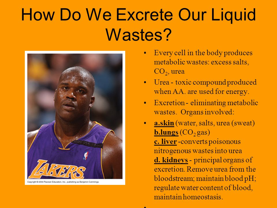 How Do We Excrete Our Liquid Wastes.