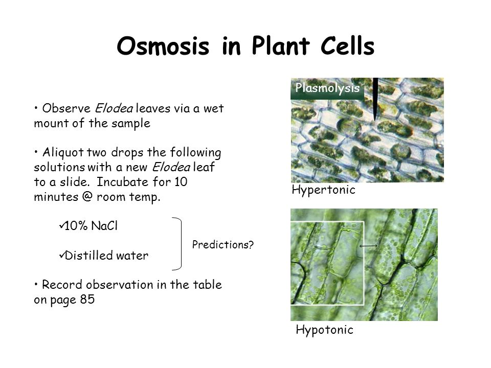 Osmosis in Plant Cells Observe Elodea leaves via a wet mount of the sample Aliquot two drops the following solutions with a new Elodea leaf to a slide.