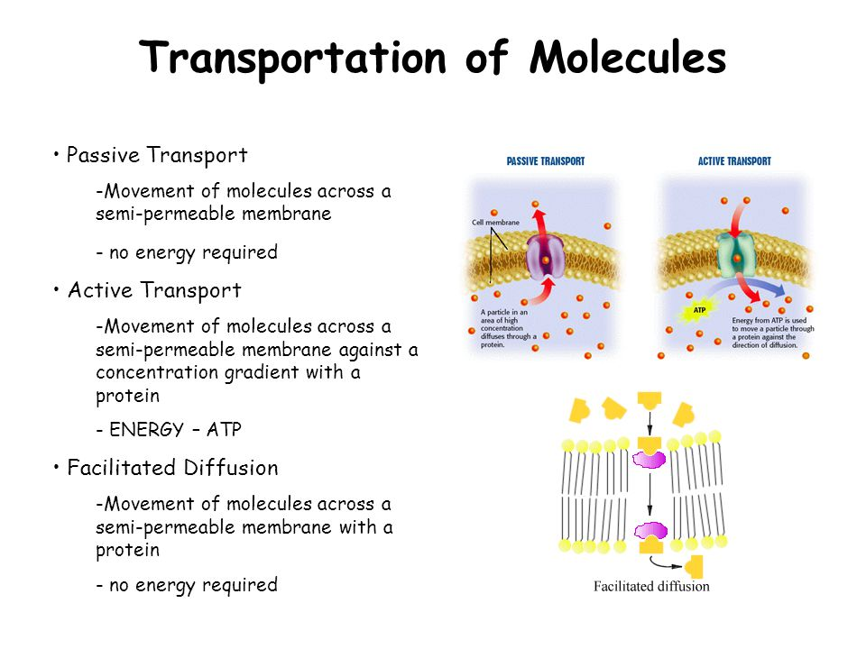 Transportation of Molecules Passive Transport -Movement of molecules across a semi-permeable membrane - no energy required Active Transport -Movement of molecules across a semi-permeable membrane against a concentration gradient with a protein - ENERGY – ATP Facilitated Diffusion -Movement of molecules across a semi-permeable membrane with a protein - no energy required