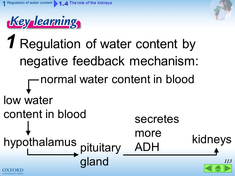 112 secretes less ADH pituitary gland 1.4 The role of the kidneys 1 Regulation of water content by negative feedback mechanism: normal water content i