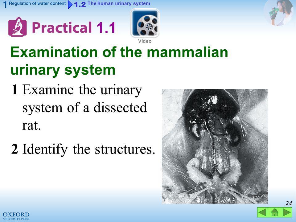 23 1.2 The human urinary system male ureters urinary bladder (vas deferens) urethra (penis)