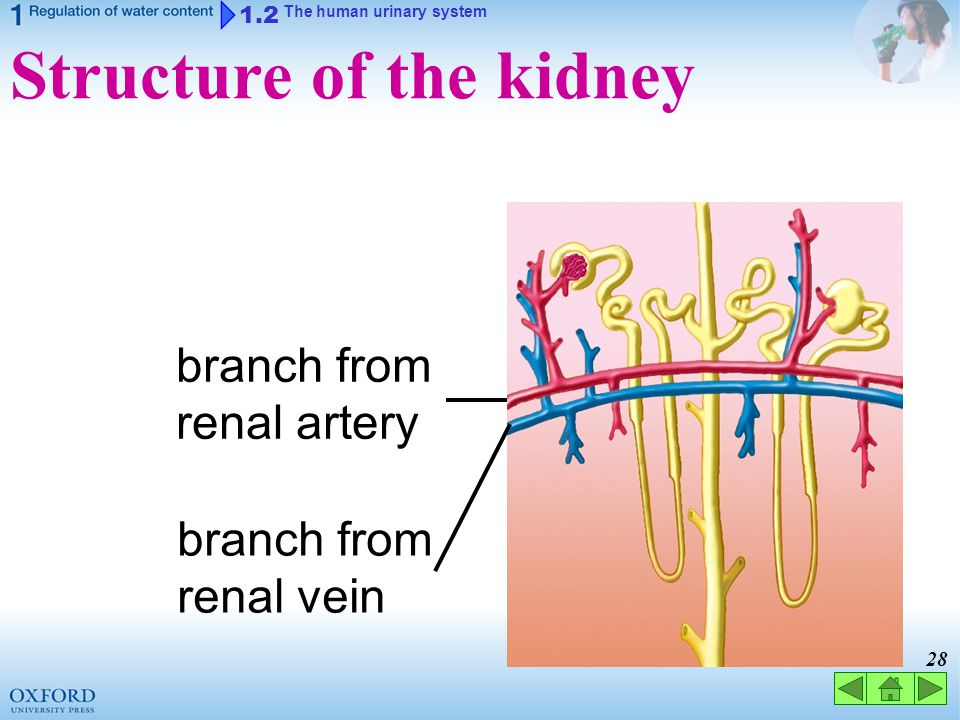 27 1.2 The human urinary system Structure of the kidney cortex medulla