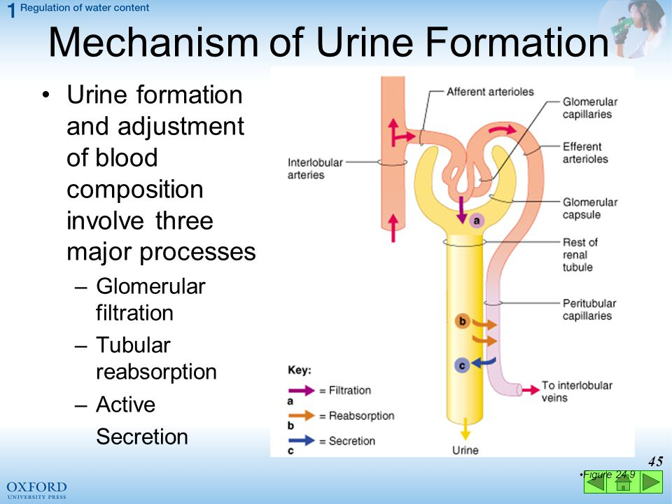 44 Active secretion 1.3 Functioning of a nephron and: ultrafiltration reabsorption
