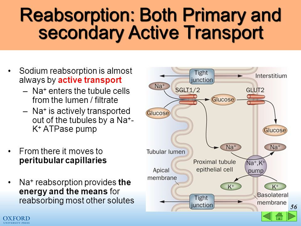 55 Glucose Reabsorption: Secondary Active Transport