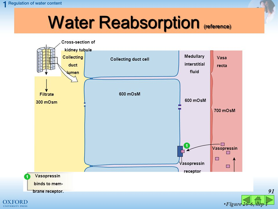 90 Figure 20-6 Water Reabsorption (reference) The mechanism of vasopressin action Collecting duct lumen Filtrate 300 mOsm H2OH2O Exocytosis of vesicle