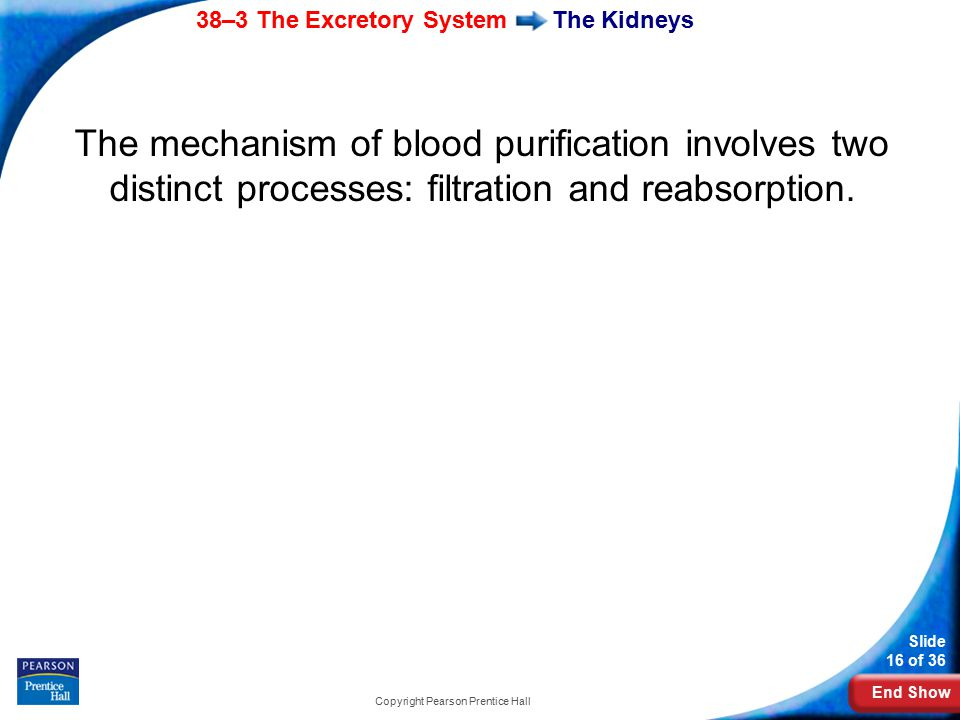 End Show 38–3 The Excretory System Slide 16 of 36 Copyright Pearson Prentice Hall The Kidneys The mechanism of blood purification involves two distinc