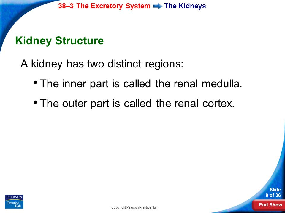 End Show 38–3 The Excretory System Slide 9 of 36 Copyright Pearson Prentice Hall The Kidneys Kidney Structure A kidney has two distinct regions: The i