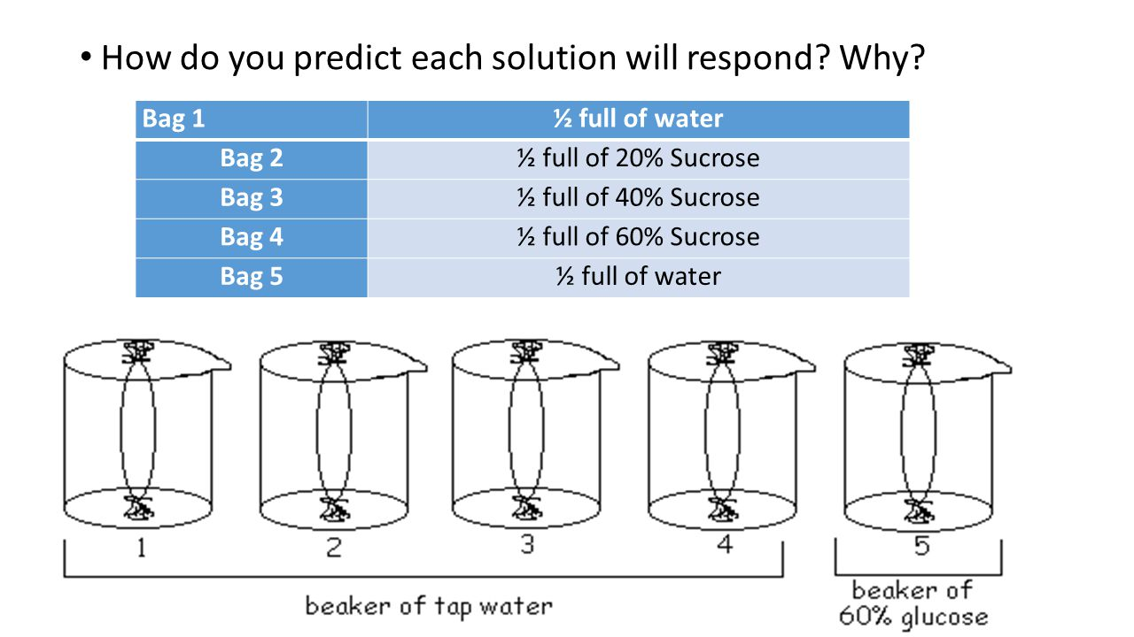 How do you predict each solution will respond? Why? Bag 1½ full of water Bag 2½ full of 20% Sucrose Bag 3½ full of 40% Sucrose Bag 4½ full of 60% Sucr