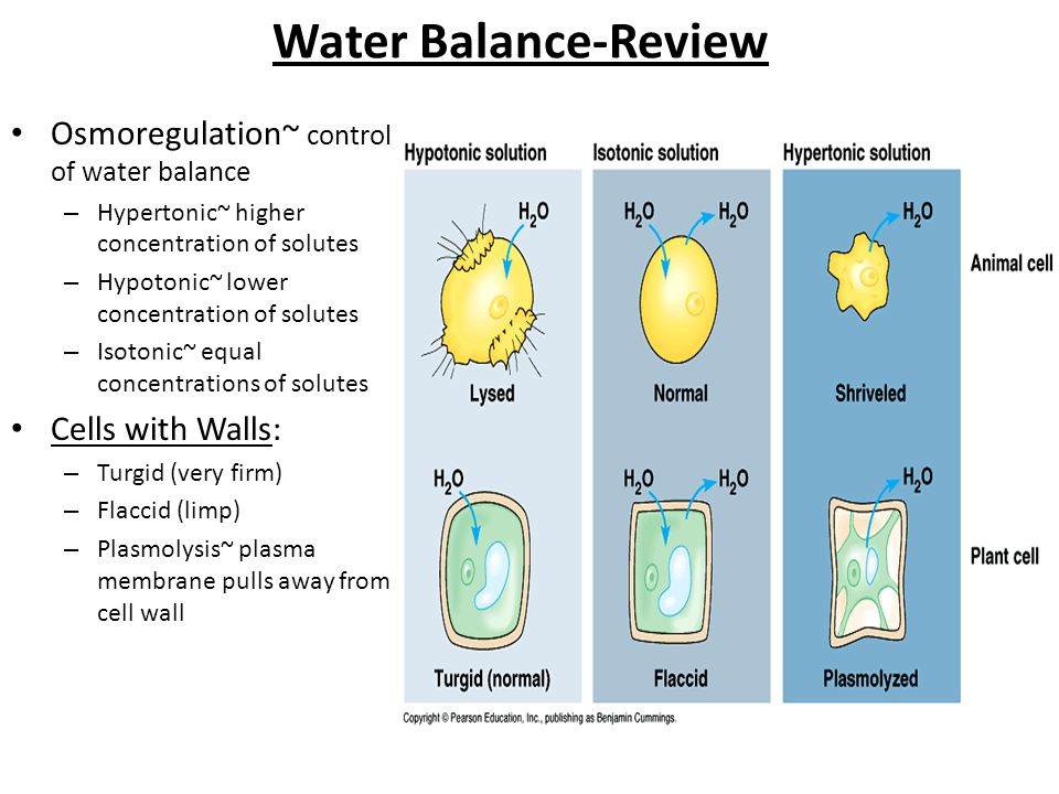 Water Balance-Review Osmoregulation~ control of water balance – Hypertonic~ higher concentration of solutes – Hypotonic~ lower concentration of solute
