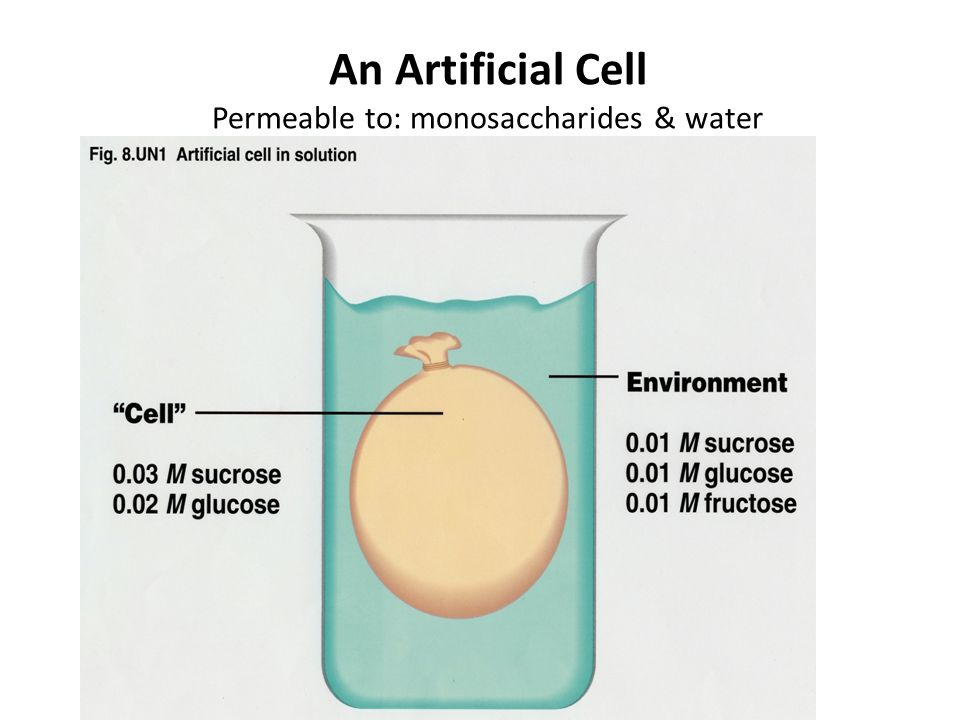 An Artificial Cell Permeable to: monosaccharides & water Impermeable to: Disaccharides