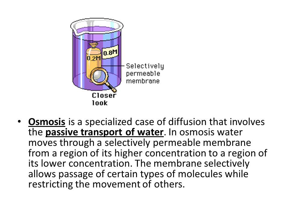 The solute concentration in the beaker is higher than that in the bag, and thus the water concentration is lower in the beaker than in the bag.