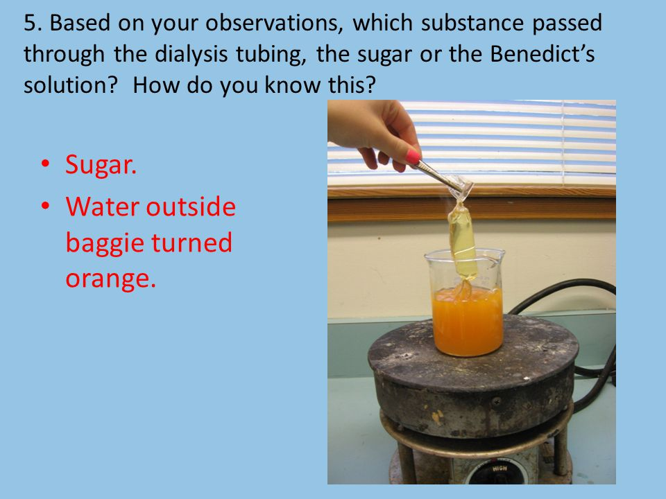 5. Based on your observations, which substance passed through the dialysis tubing, the sugar or the Benedict's solution? How do you know this? Sugar.