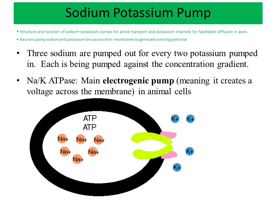 Sodium Potassium Pump Structure and function of sodium–potassium pumps for active transport and potassium channels for facilitated diffusion in axon.