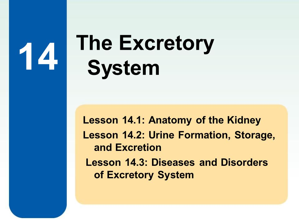 14 Lesson 14.1: Anatomy of the Kidney Lesson 14.2: Urine Formation, Storage, and Excretion Lesson 14.3: Diseases and Disorders of Excretory System The