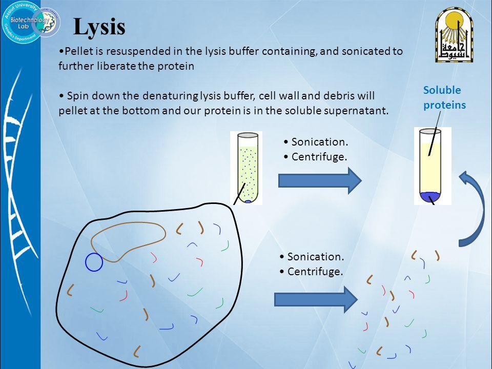 Lysis Sonication. Centrifuge.