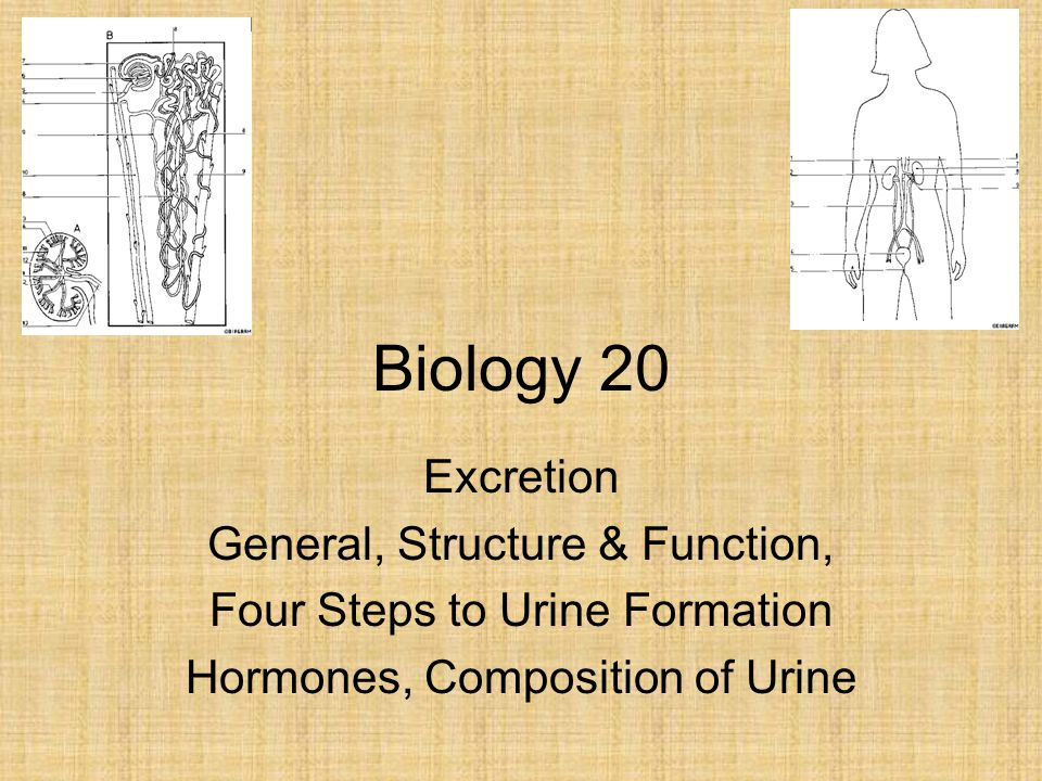 Biology 20 Excretion General, Structure & Function, Four Steps to Urine Formation Hormones, Composition of Urine