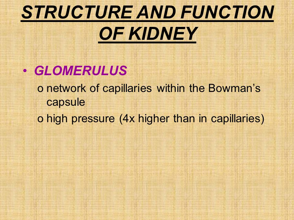 STRUCTURE AND FUNCTION OF KIDNEY GLOMERULUS onetwork of capillaries within the Bowman's capsule ohigh pressure (4x higher than in capillaries)