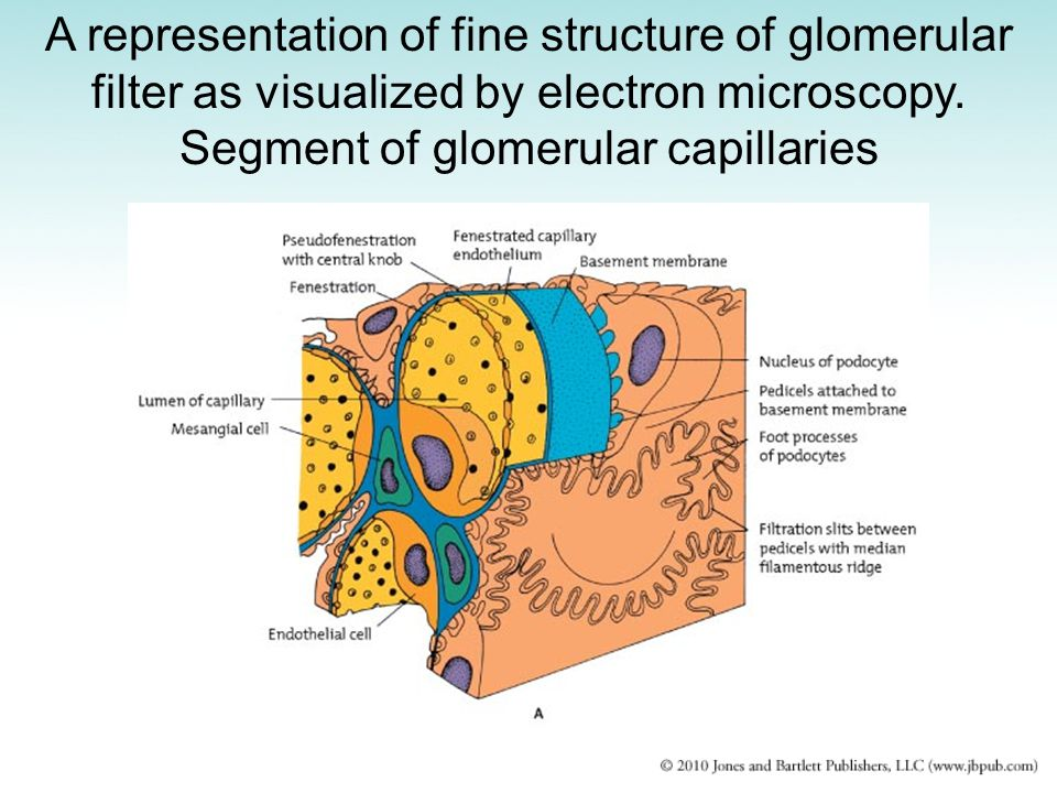 A representation of fine structure of glomerular filter as visualized by electron microscopy. Segment of glomerular capillaries
