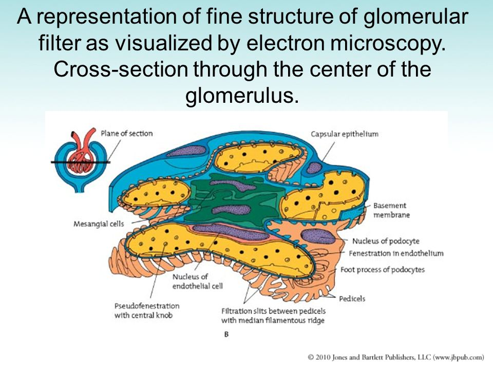 A representation of fine structure of glomerular filter as visualized by electron microscopy. Cross-section through the center of the glomerulus.