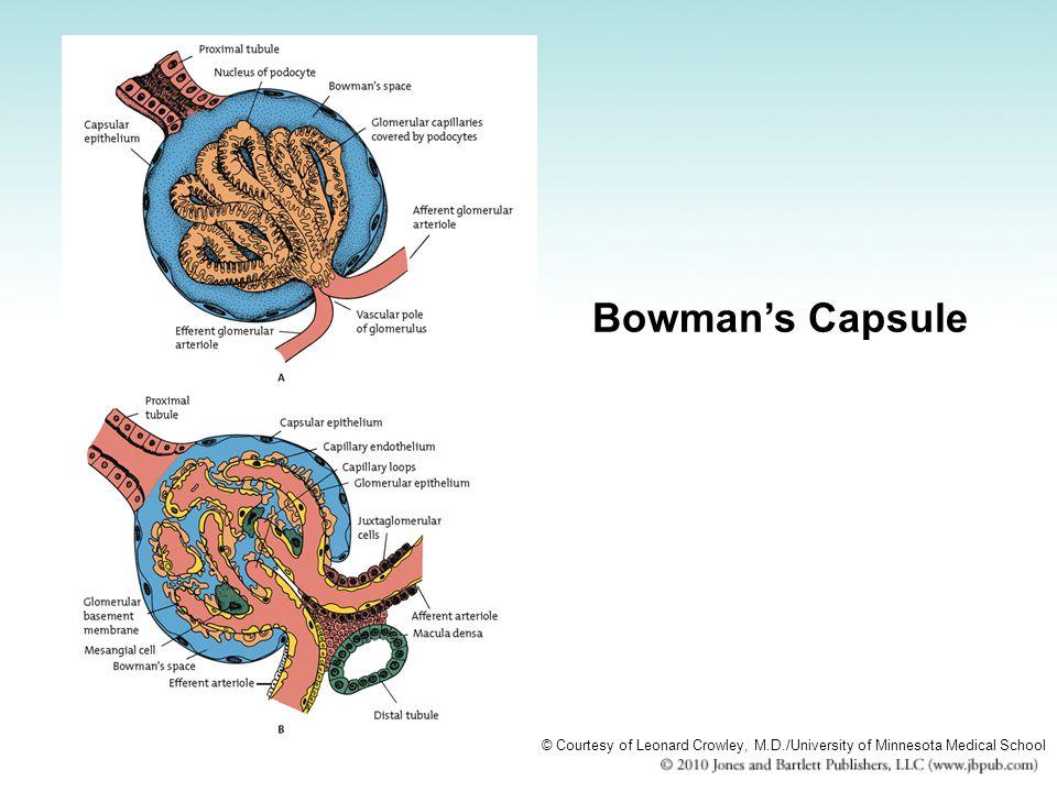 Bowman's Capsule © Courtesy of Leonard Crowley, M.D./University of Minnesota Medical School