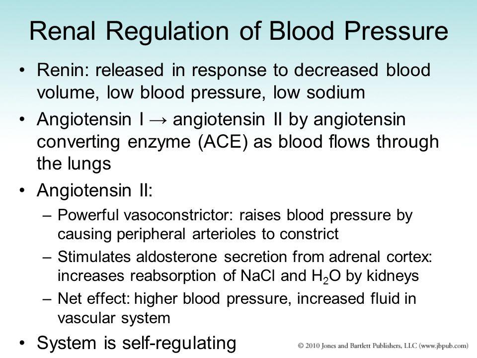 Renal Regulation of Blood Pressure Renin: released in response to decreased blood volume, low blood pressure, low sodium Angiotensin I → angiotensin I