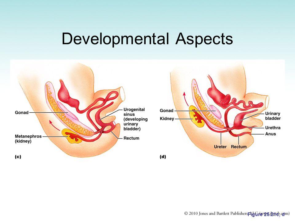 Developmental Aspects Figure 25.21c, d