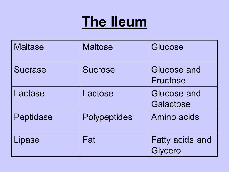 The Ileum MaltaseMaltoseGlucose SucraseSucroseGlucose and Fructose LactaseLactoseGlucose and Galactose PeptidasePolypeptidesAmino acids LipaseFatFatty