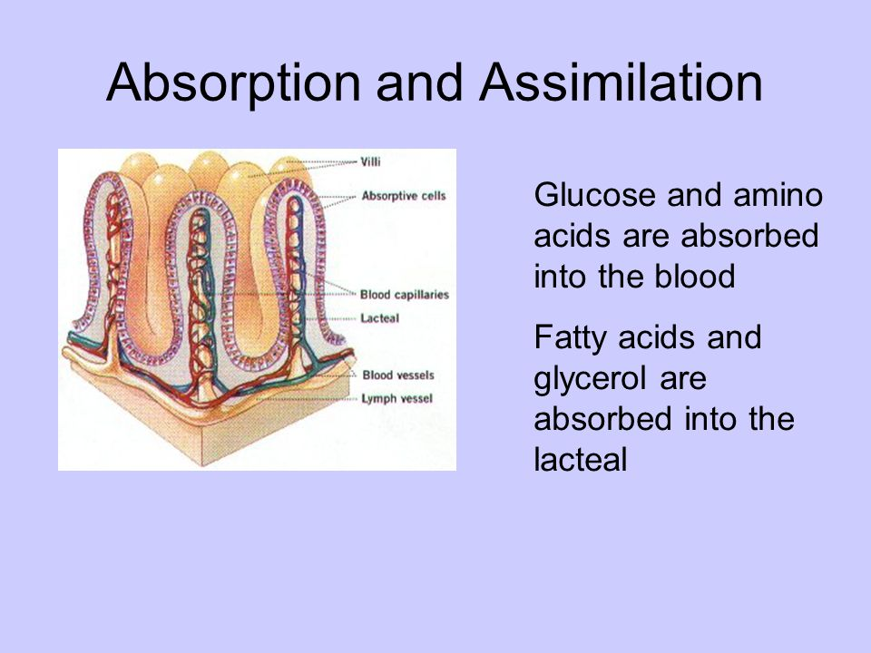 Absorption and Assimilation Glucose and amino acids are absorbed into the blood Fatty acids and glycerol are absorbed into the lacteal