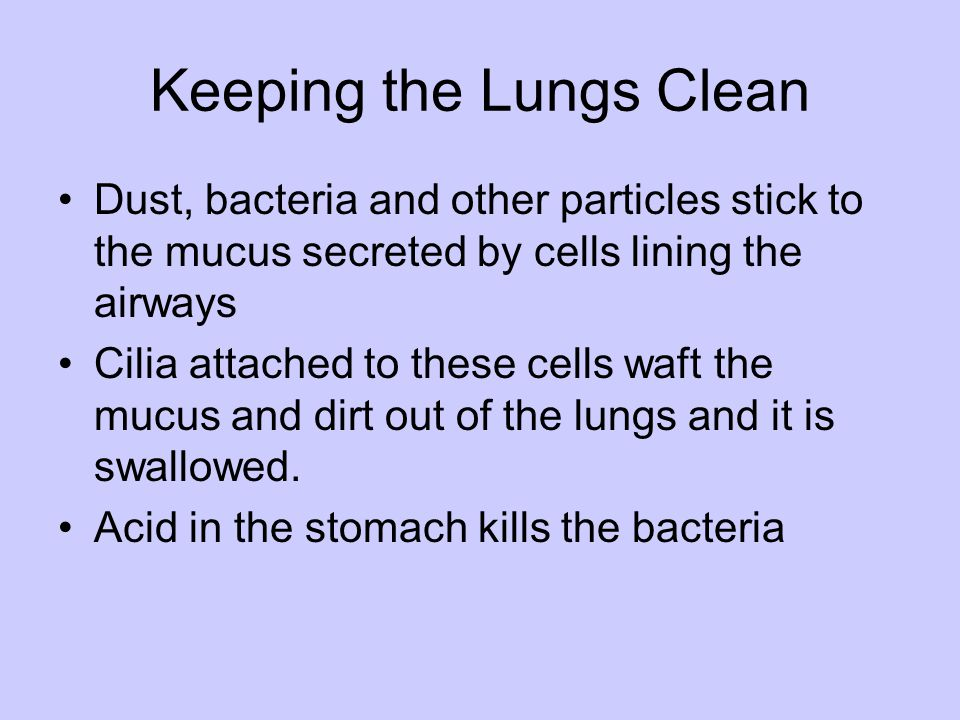 Keeping the Lungs Clean Dust, bacteria and other particles stick to the mucus secreted by cells lining the airways Cilia attached to these cells waft