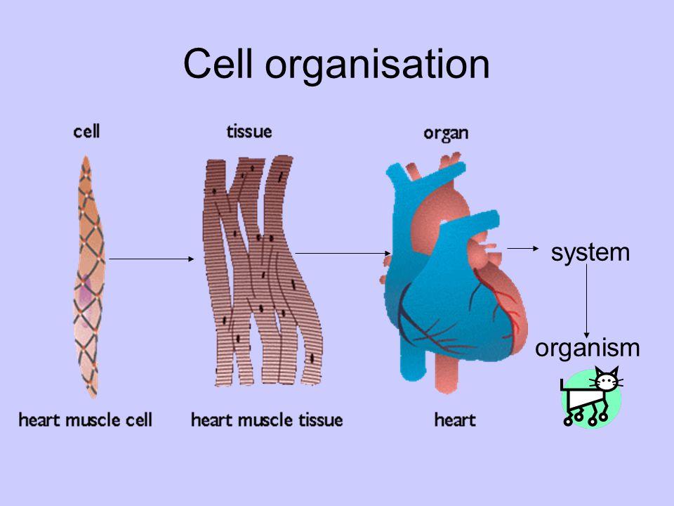 Cell organisation system organism