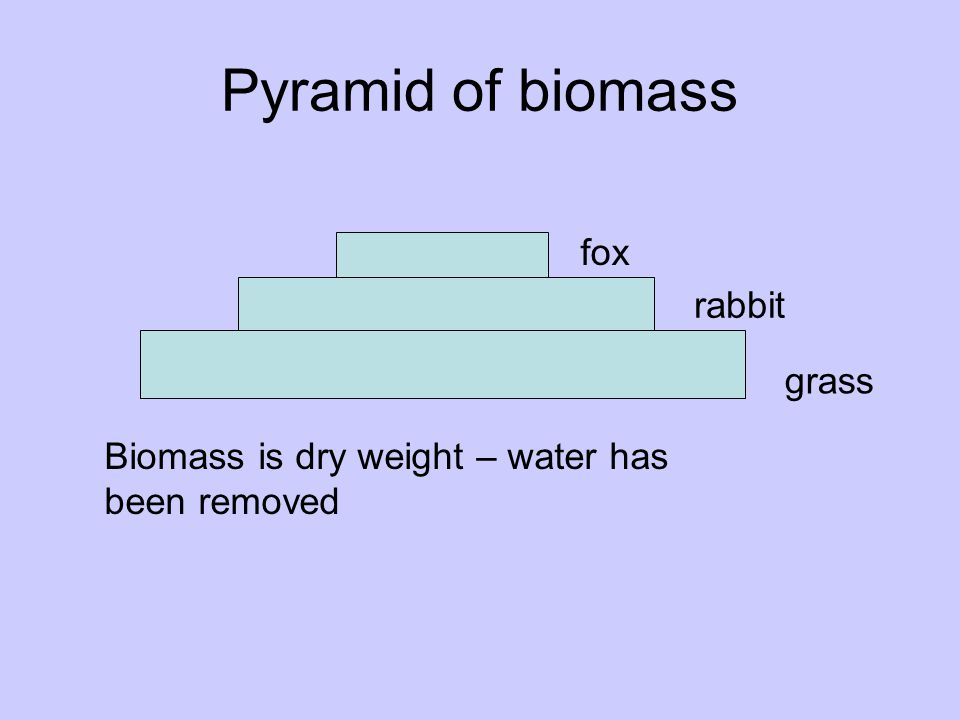 Pyramid of biomass grass rabbit fox Biomass is dry weight – water has been removed