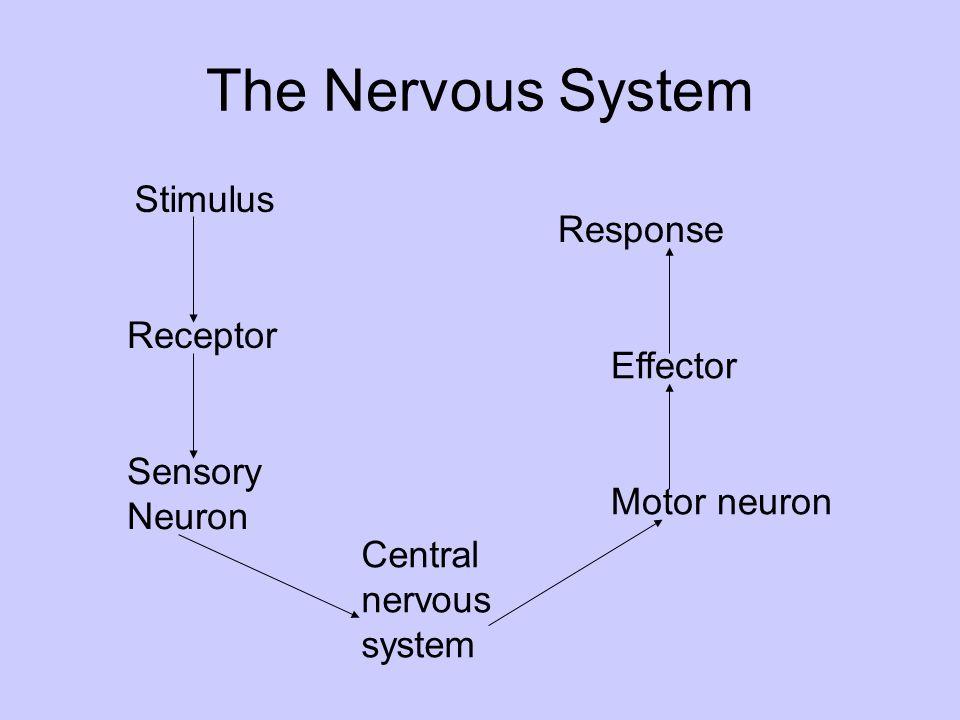 The Nervous System Stimulus Receptor Sensory Neuron Central nervous system Motor neuron Effector Response
