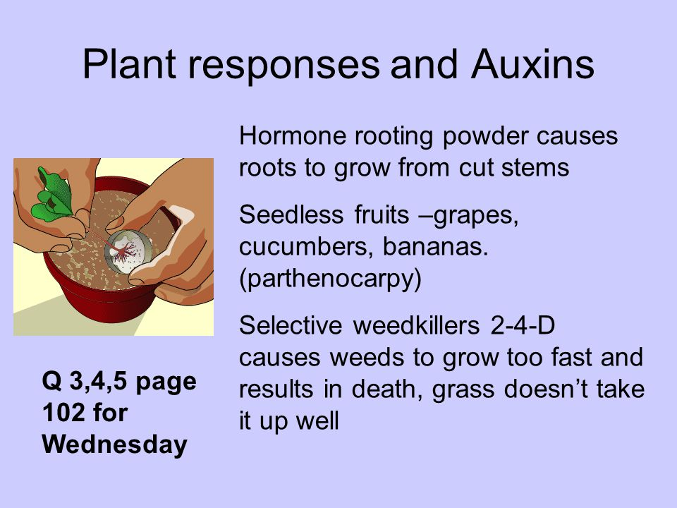 Plant responses and Auxins Hormone rooting powder causes roots to grow from cut stems Seedless fruits –grapes, cucumbers, bananas. (parthenocarpy) Sel