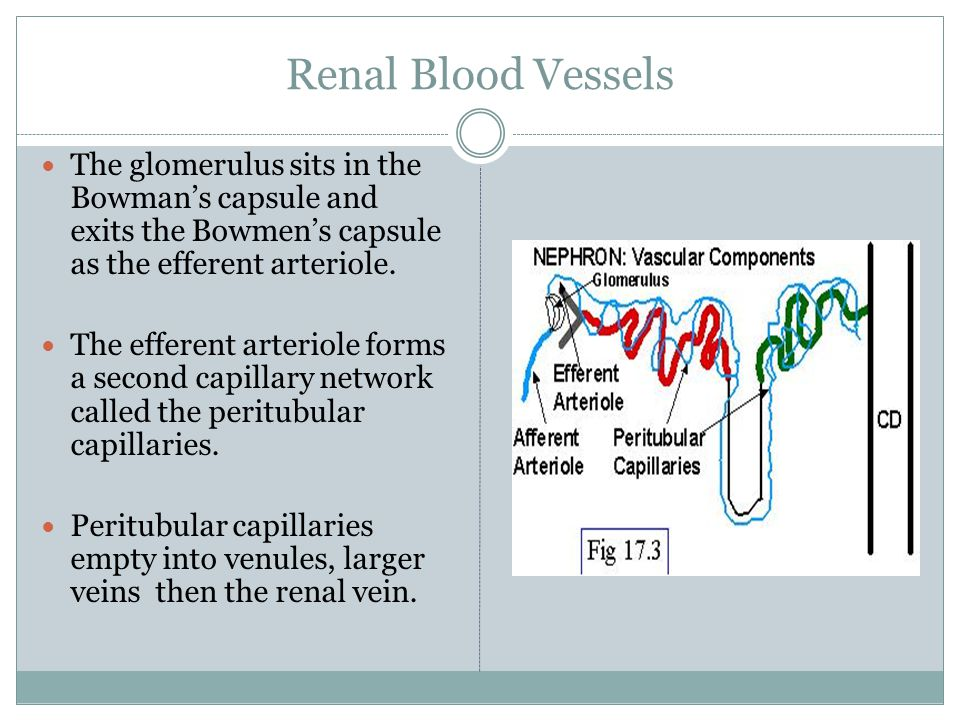 Renal Blood Vessels The glomerulus sits in the Bowman's capsule and exits the Bowmen's capsule as the efferent arteriole.