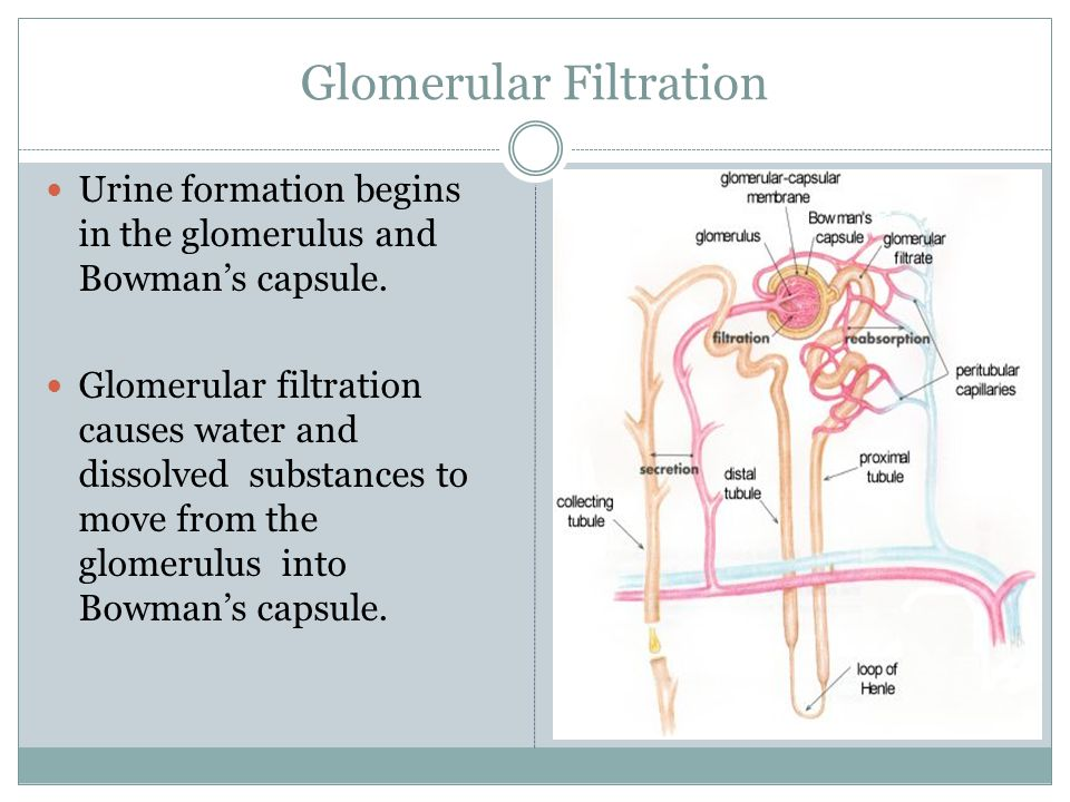 Glomerular Filtration Urine formation begins in the glomerulus and Bowman's capsule.