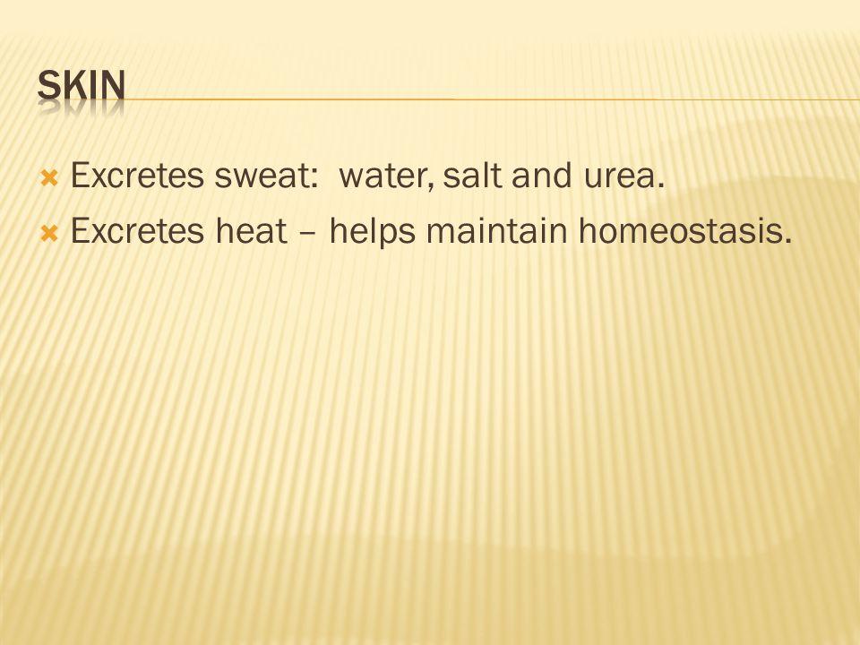  Excretes sweat: water, salt and urea.  Excretes heat – helps maintain homeostasis.