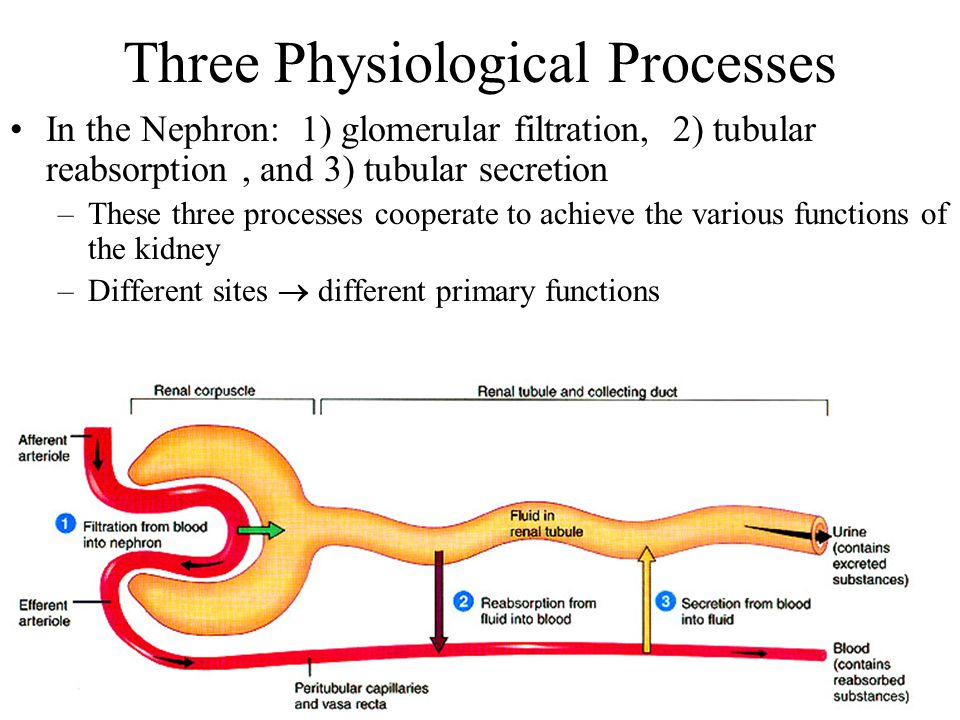 Three Physiological Processes In the Nephron: 1) glomerular filtration, 2) tubular reabsorption, and 3) tubular secretion –These three processes coope