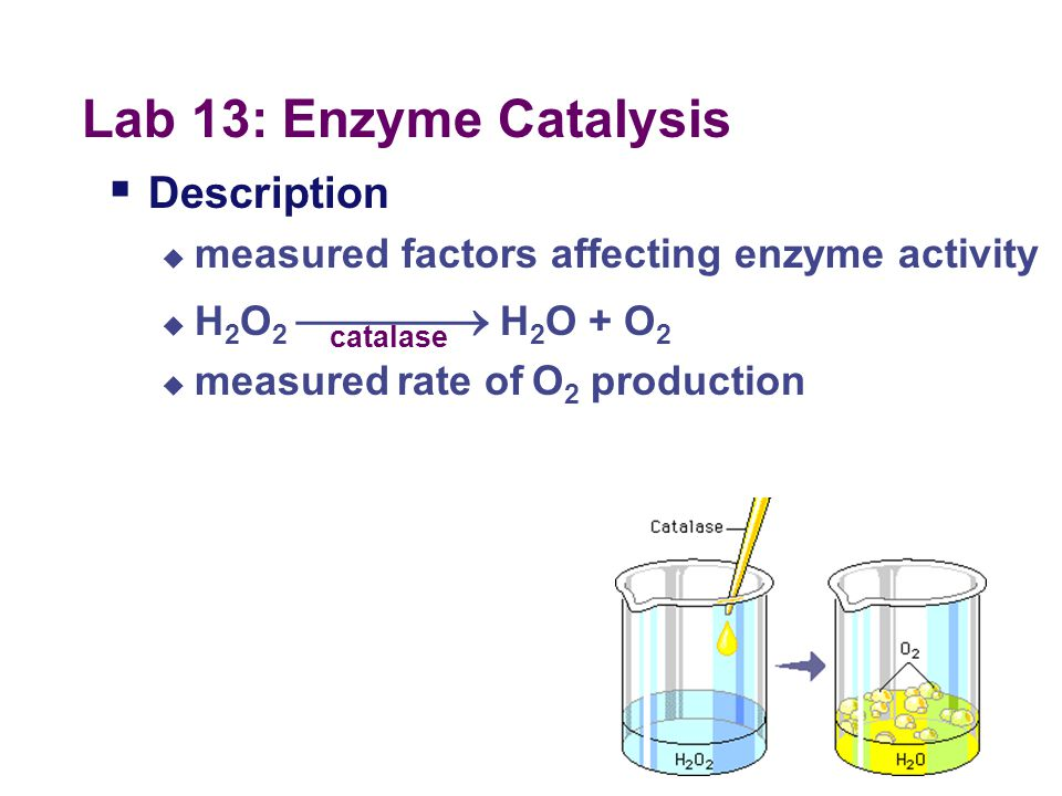 Investigation 13: Enzyme Catalysis What did we do?