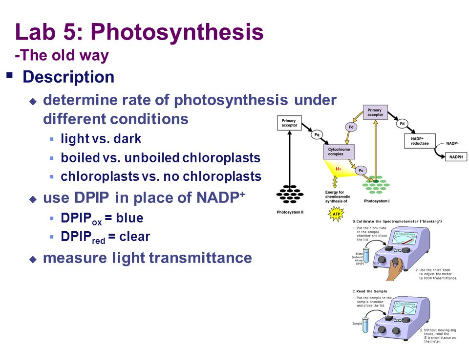 Lab 5: Photosynthesis -How did we use these materials to study photosynthesis? What is the I.V. in this experiment?