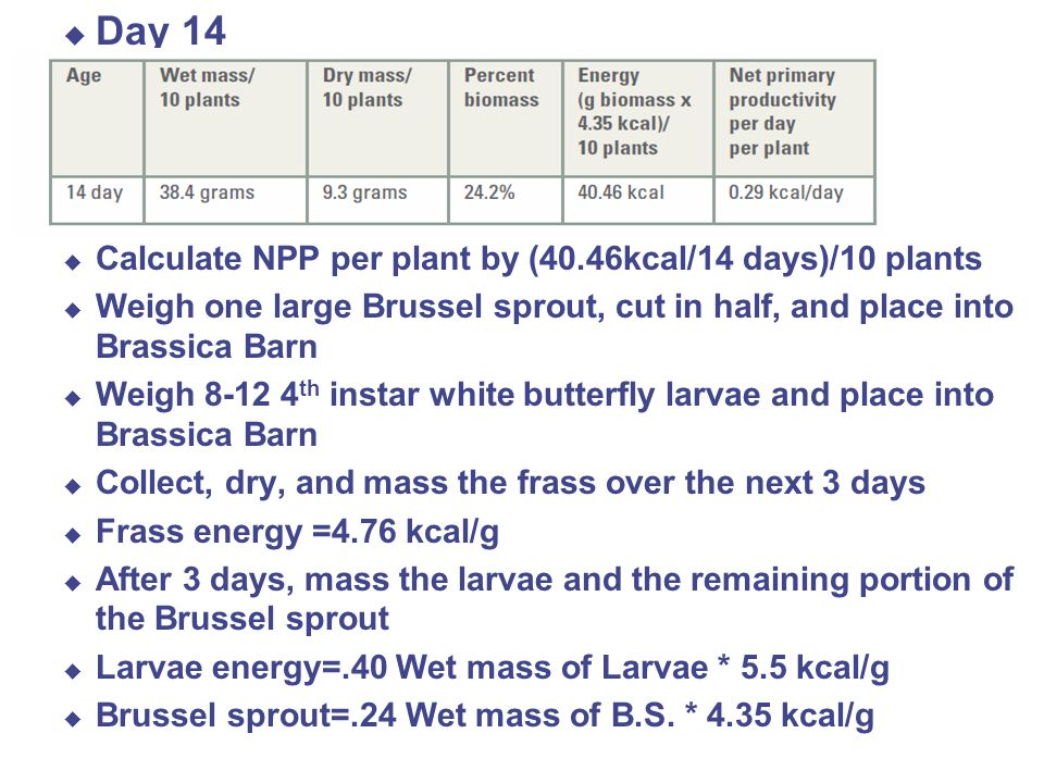  Day 14 \  Calculate NPP per plant by (40.46kcal/14 days)/10 plants  Weigh one large Brussel sprout, cut in half, and place into Brassica Barn  Weigh 8-12 4 th instar white butterfly larvae and place into Brassica Barn  Collect, dry, and mass the frass over the next 3 days  Frass energy =4.76 kcal/g  After 3 days, mass the larvae and the remaining portion of the Brussel sprout  Larvae energy=.40 Wet mass of Larvae * 5.5 kcal/g  Brussel sprout=.24 Wet mass of B.S.